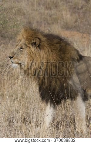 Closeup Profile Of A Massive Male Lion Head With Gorgeous Mane Standing In Grass In Kruger, South Af