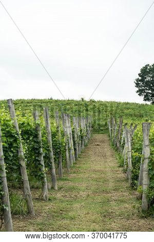 Some Rows Of A Vineyard In The Hills Near Monticello D\'alba, Piedmont - Italy