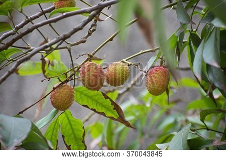 Lychee Is The Sole Member Of The Genus Litchi In The Soapberry Family, Sapindaceae