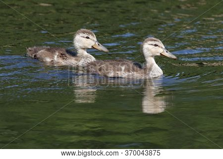 A Pair Of Mottled Duck Ducklings, Anas Fulvigula Swim In A Lake In Florida With Reflection In The Wa