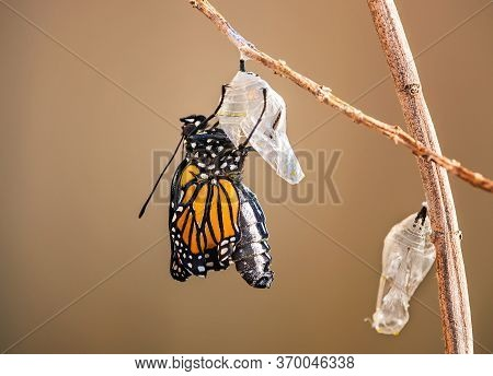 Monarch Butterfly (danaus Plexippus) Emerging From The Chrysalis On Milkweed Branch