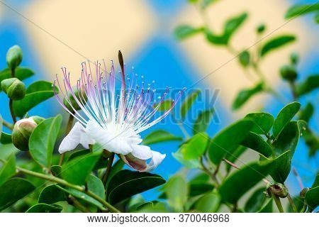 Caper Bush Flower Close Up. Beautiful Tropical White Flower With Pink Stamens And Bright Green Leave