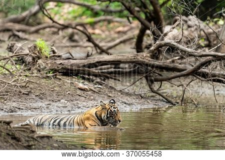 Wild Male Tiger Resting In Natural Water Body During Monsoon Safari At Ranthambore National Park Or