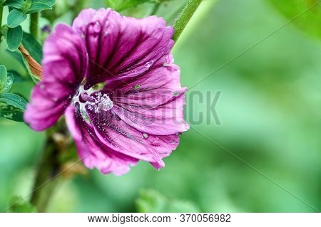 Beautiful Saturated Color Flower Alcea Rosea, Pink Mallow Or Hollyhock. Closeup Of Alcea Rosea, Pink