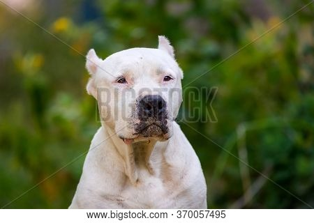 Closeup Portrait Of Staffordshire Terrier. American Staffordshire In Garden Or Park.