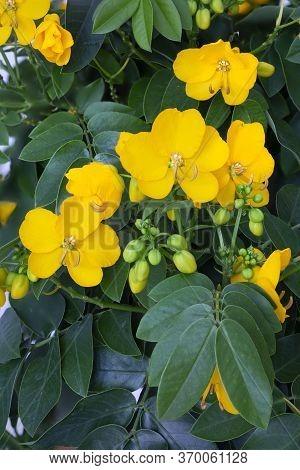 Senna (cassia Corymbosa) Flowers In The Garden