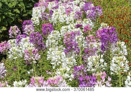 Cleome Spinosa Flowers  Growing In The Garden