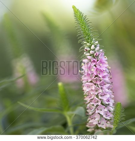 Pink Flowering Spiked Speedwell (veronica Spicata) In The Garden