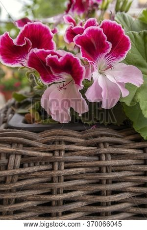 Bicolor White-pink Angel Pelargonium In A Wicker Basket