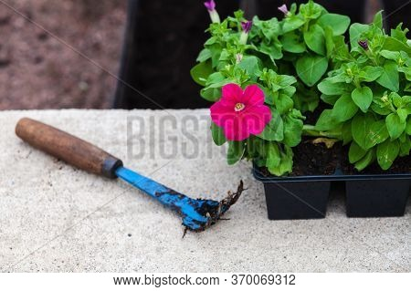 Blue Hoe Lays Near Petunia Seedlings In Decorative Pots, Close-up Photo With Selective Focus