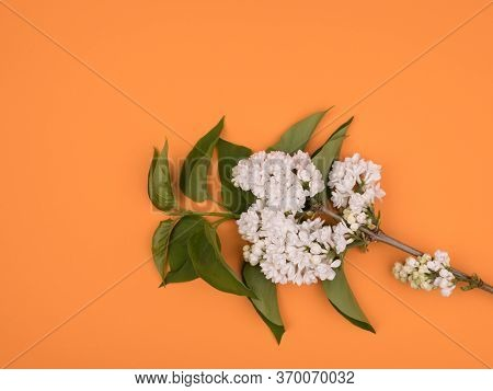 Branch Of White Lilac On Orange Background. The Spring Bloom.