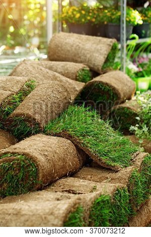 Close Up Roll Out Turf Lying  In Flower Shop, Laying New Lawn In Garden, Lawn Maintenance. Buying Gr