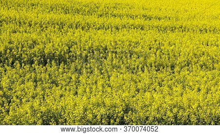 Beautiful Yellow Rapeseed Flowers In The Spring Season, Beautiful Nature And Pleasant Aromas From Th