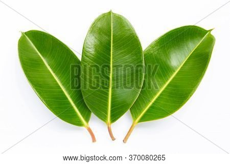 Rubber Plant Leaves On A White Background.