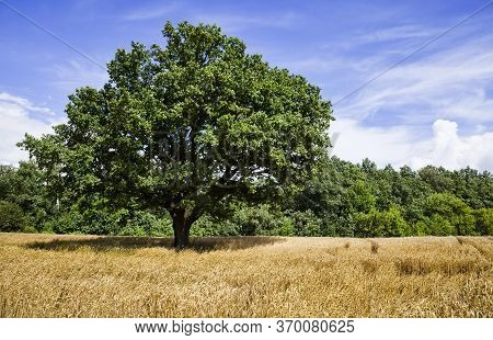 Oak Lonely Growing In The Field Where Cereals Are Grown, Landscape With Green Foliage On The Trees O