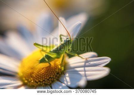 A Green Grasshopper Sits On A White Chamomile . White Chamomiles Close-up. Leucanthemum Vulgare. Mac
