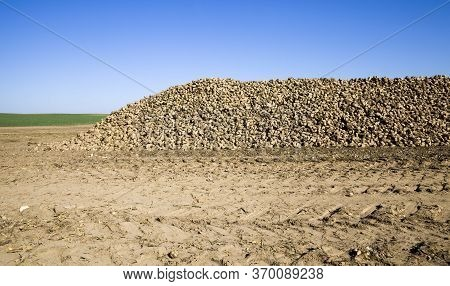 A Large Pile Of Harvested Sugar Beet In The Agricultural Field, The Beet Is Sweet And Used For Indus