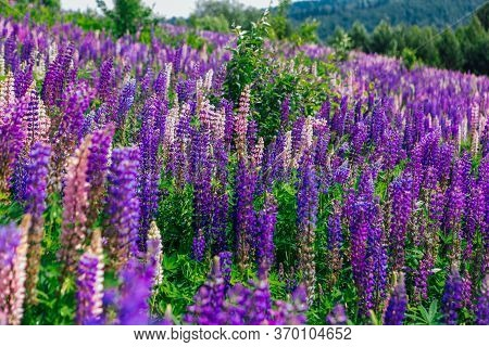 A Field Of Blooming Lupine Flowers - Lupinus Polyphyllus - Garden Or Fodder Plant