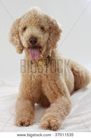 Cute Beige Poodle