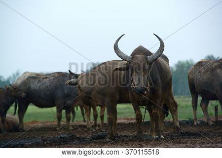 Buffalo In The Rice Field In Thailand,farming, Raising Buffalo For Sale
