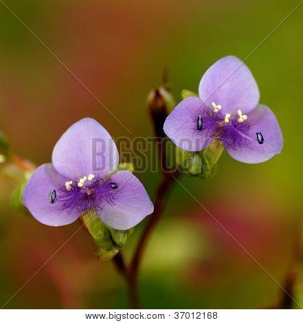 Wild Violet Flower