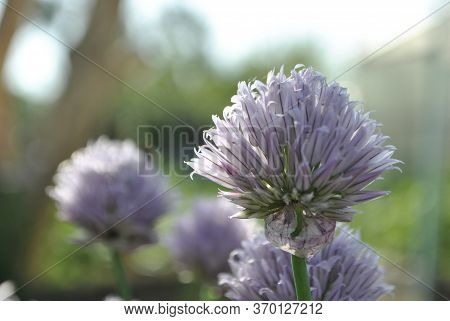 Close-up Of Decorative Purple Flowers. Decorative Pink Bow Close-up. Close-up Of Purple Decorative G