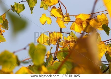 Yellowed Foliage On A Real Linden Tree In The Autumn, A Closeup Of A Linden Tree During Leaf Fall In