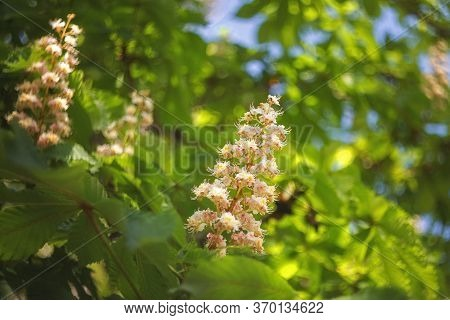 Chestnut Blooms On A Tree Close-up. Inflorescence Of A Chestnut Tree On A Green Background. Aesculus