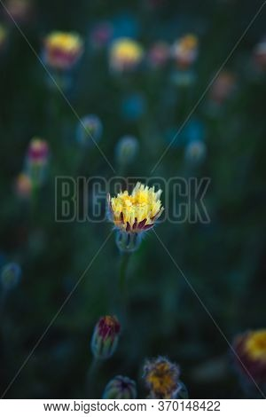 Blooming Single Dandelion On Green Background With Copy Space