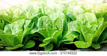 Organic Salad Vegetables Are Non-toxic On An Outdoor Farm. Healthy Eating Ideas