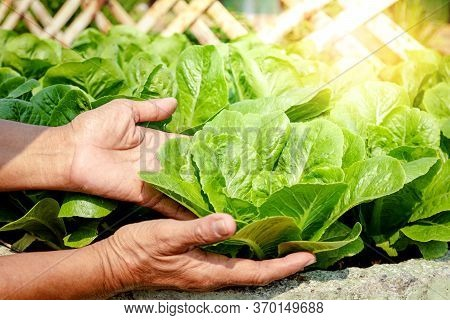 Farmers' Hands Hold Organic Green Salad Vegetables In The Plot. Concept Of Healthy Eating, Non-toxic