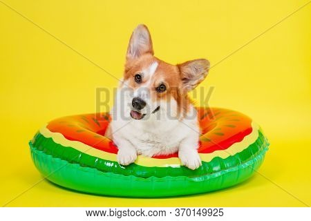 Funny Smiling Welsh Corgi Pembroke Or Cardigan Dog Lies In An Inflated Life Buoy For Swimming On Yel