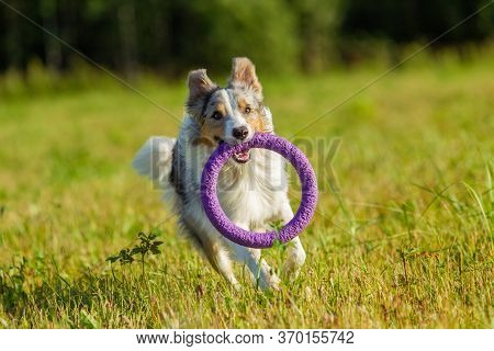 Border Collie Dog In Gray-yellow-white Color Holds His Toy In The Mouth, Runs Across A Mown Field Wh