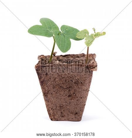 Fresh sprout and wilted sprout in peat pot isolated over white background