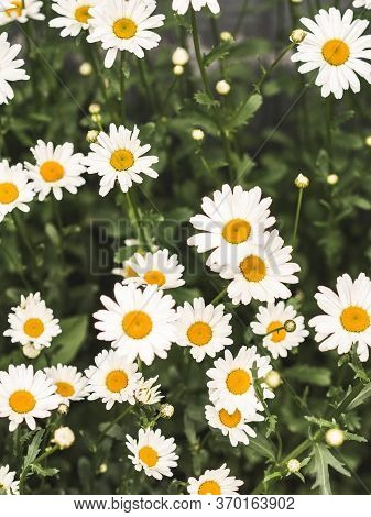 Flowering. Chamomile. Blooming Chamomile Field, Chamomile Flowers. Natural Herbal Treatment.