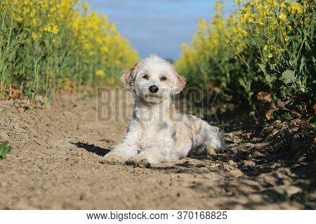 Small Havanese Dog Is Lyin In A Yellow Rape Seed Field