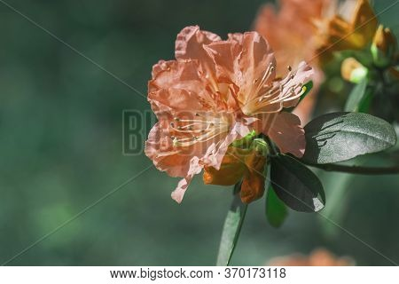 Rhododendron Blooming Flowers In The Spring Garden. Beautiful Orange Rhododendron Close Up