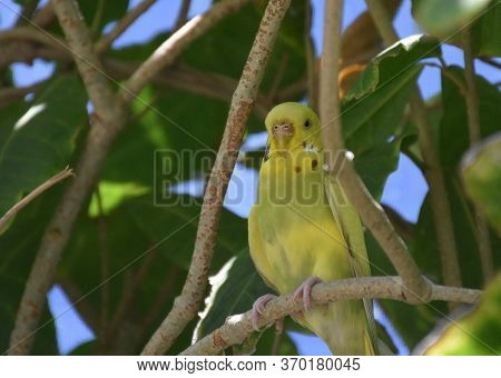 Pretty Yellow Common Parakeet Standing On A Tree Branch.