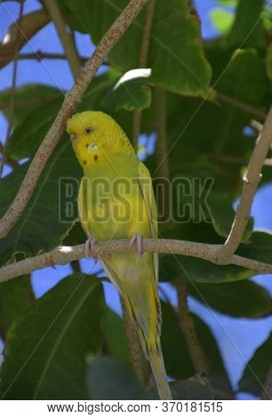 Very Pretty Bright Yellow And Green Parakeet On A Branch.