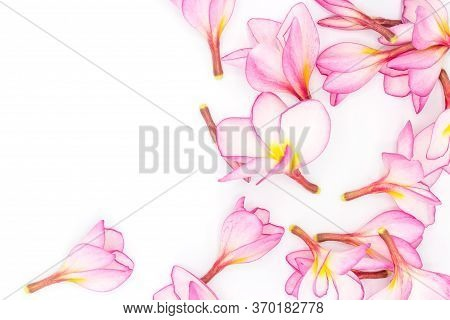 Pink Frangipani Isolated On White Background,copy Space
