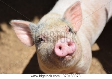 Adorable Farm Pig With A Pink Snout.