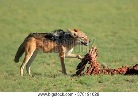 Black-backed jackals (Canis mesomelas) scavenging the remains of an antelope, Kalahari, South Africa
