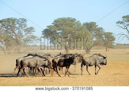 Herd of blue wildebeest (Connochaetes taurinus) in a dusty dry riverbed, Kalahari desert, South Africa