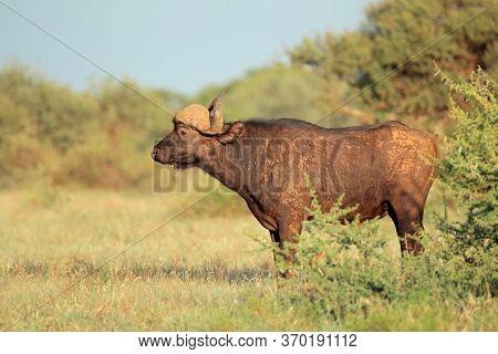 An African buffalo (Syncerus caffer) in natural habitat, Mokala National Park, South Africa