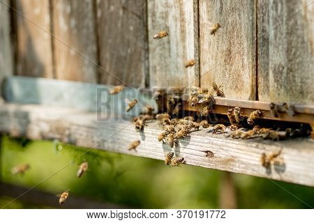 A Close-up View Of The Working Bees Bringing Flower Pollen To The Hive On Its Paws. Honey Is A Beeke