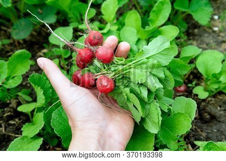 Radish In Hand. Hands Gardener. Freshly Picked Vegetables. Unwashed Radishes With Tops.