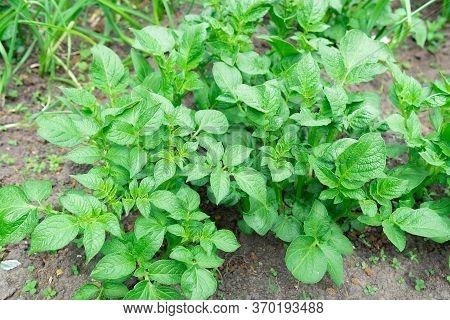 Potato Plant Growing On The Soil.potato Bush In The Garden.healthy Young Potato Plant In Organic Far