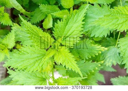 Nettle Dioecious Urtica Dioica With Green Leaves Grows In Natural Thickets.