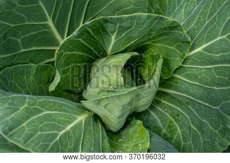 Sweetheart Cabbage Plant Growing In Garden Close Up