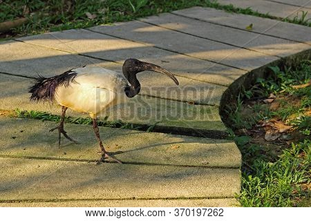 African Sacred Ibis. Threskiornis Aethiopicus. The Sacred Bird Of Ancient Egypt. White Bird With A B